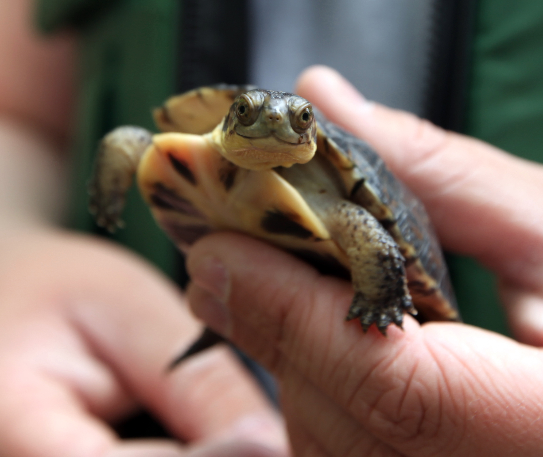 Blanding S Turtle Natural History